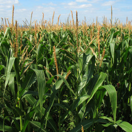Corn is a typical GMO vilified by food activists